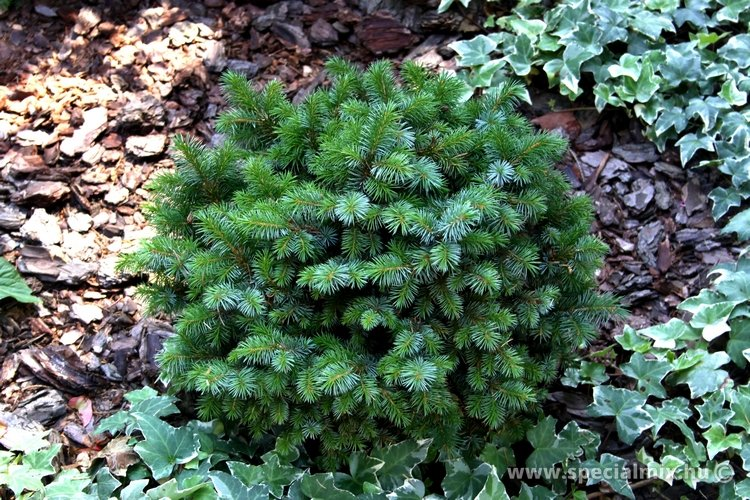 Luc, Picea sitchensis TENAS