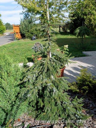 Luc, Picea omorika PENDULA