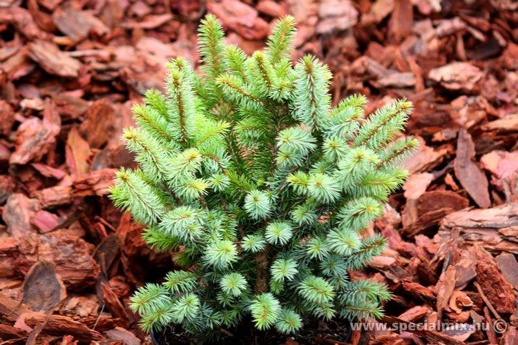 Luc, Picea sitchensis MIDGET