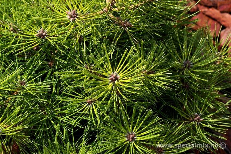 Pinus densiflora JANE KLUIS