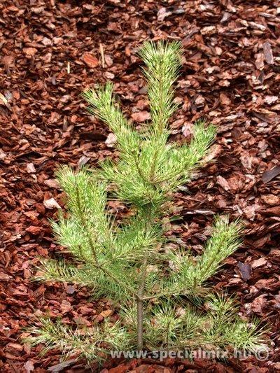 Pinus, Pinus densiflora OCULUS-DRACONIS