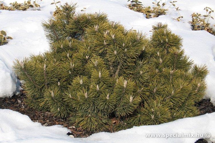 Pinus, Pinus mugo