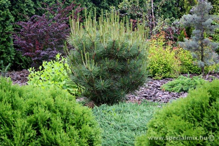 Pinus, Pinus densiflora UMBRACULIFERA