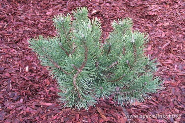 Pinus, Pinus mugo GNOM
