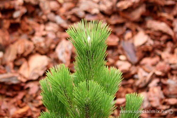 Pinus thunbergii THUNDERHEAD