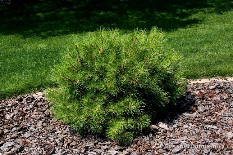 Pinus nigra KARACA BALL
