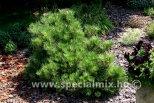 Pinus thunbergii BANSHOSHO