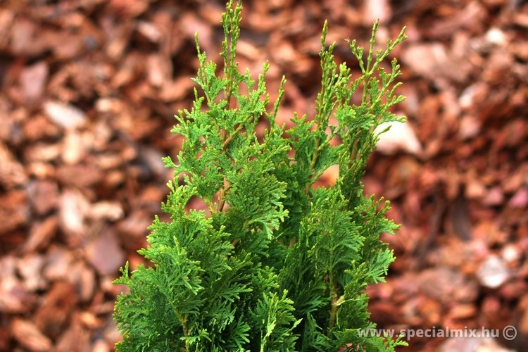 Thuja occidentalis BROBECK'S TOWER