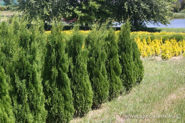 Thuja occidentalis BARABITS COMPACT