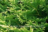 Thuja occidentalis GOLDPERLE
