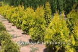 Thuja occidentalis GOLDEN ANNE ®