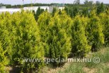 Thuja occidentalis GOLDEN BRABANT ®