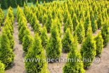 Thuja occidentalis JANTAR ®