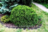 Thuja occidentalis KOBOLD