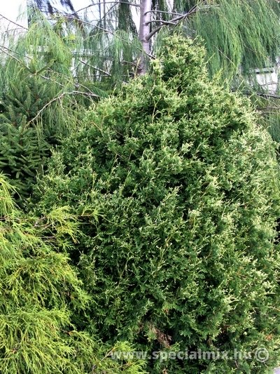 Thuja occidentalis MEINECKES ZWERG