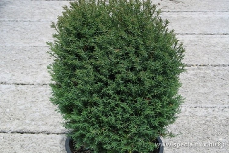 Thuja occidentalis ERICOIDES BARABITS