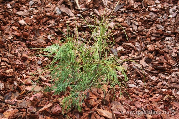 Thuja occidentalis FILIFORMIS