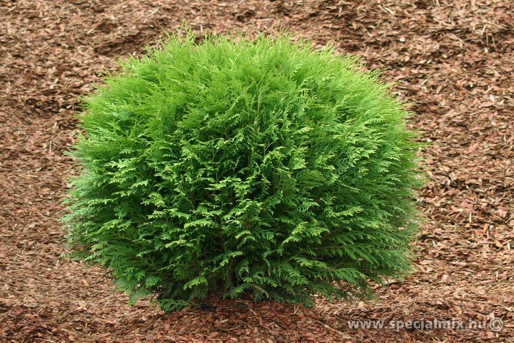 Thuja occidentalis LITTLE CHAMPION