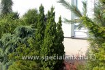 Thuja occidentalis SPIRÁLIS MINI
