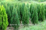 Thuja occidentalis SUPER MALONYANA