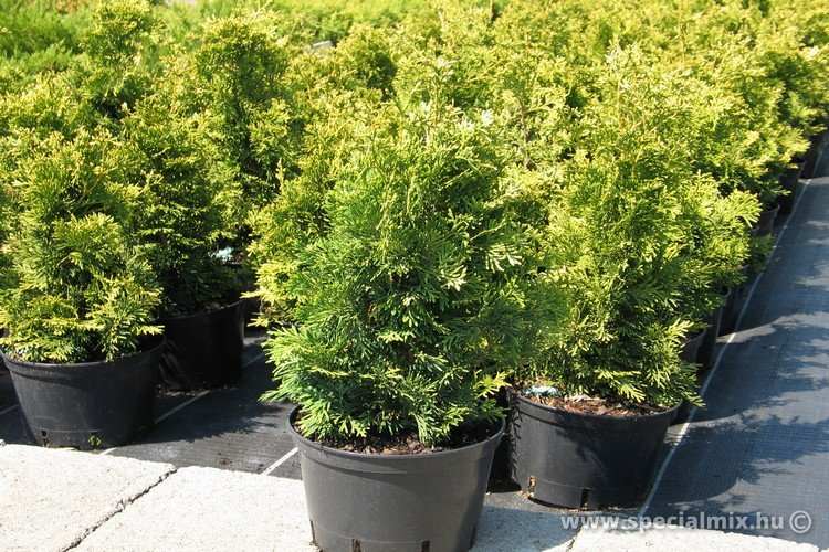 Thuja occidentalis TROMBENBURG