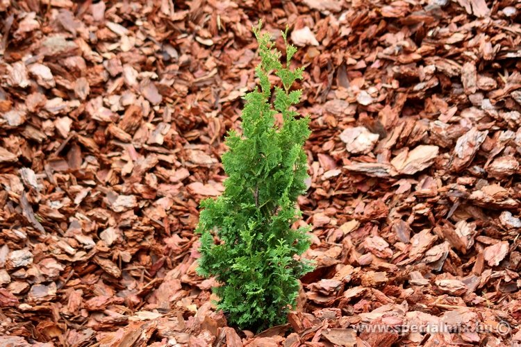 Thuja occidentalis ZMATLIK