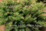 Taxus baccata REPANDENS