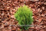 Thuja plicata LITTLE BOY ®