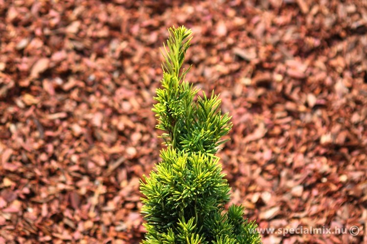 Taxus baccata DAVID