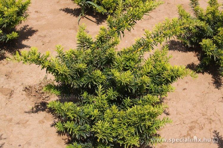 Taxus baccata REPANDENS AUREA