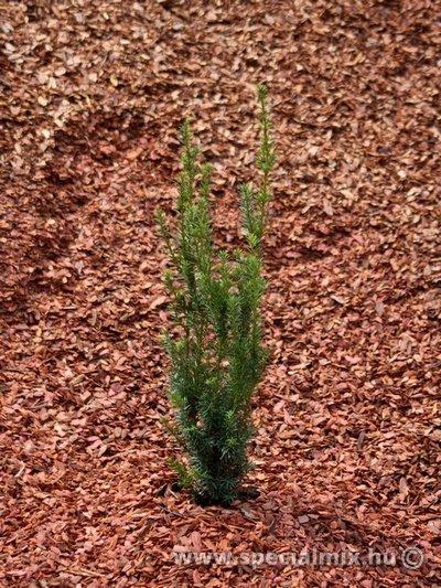 Taxus baccata LAKATOS
