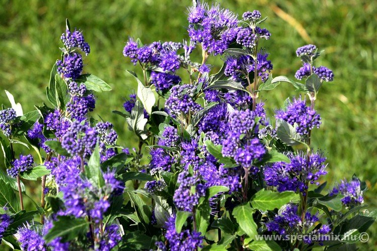 Caryopteris clandonensis GRAND BLUE ®