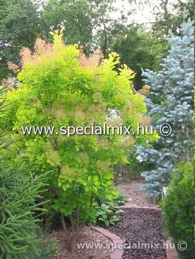 Cserszömörce, Cotinus coggygria GOLDEN SPIRIT®