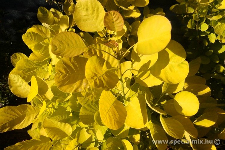 Cotinus coggygria GOLDEN SPIRIT®