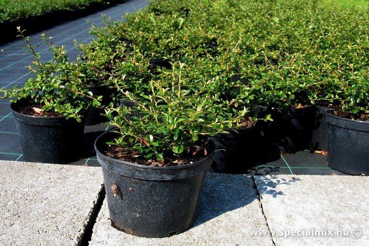 Cotoneaster x suecicus SKOGHOLM