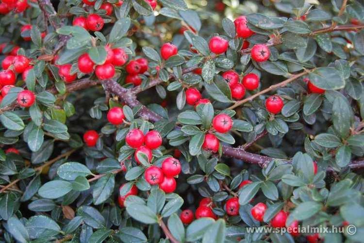 Madárbirs, Cotoneaster x suecicus CORAL BEAUTY