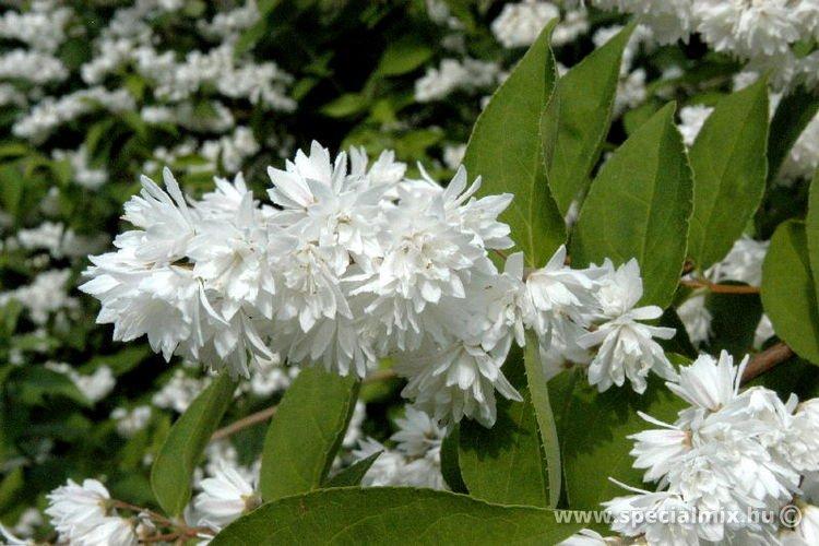 Deutzia crenata PRIDE OF ROCHESTER