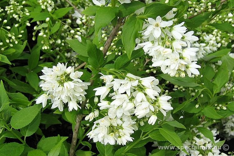 Gyöngyvirágcserje, Deutzia gracilis
