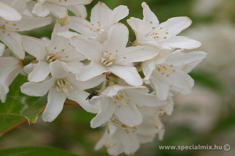Gyöngyvirágcserje, Deutzia gracilis NIKKO