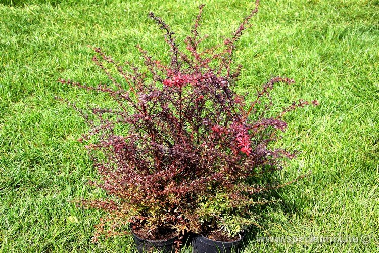 Berberis thunbergii RED DREAM ®