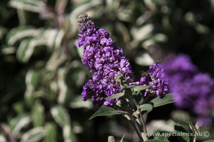 Buddleja davidii BLUE CHIP ®