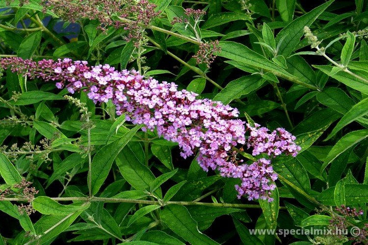Buddleja davidii ORCHID BEAUTY
