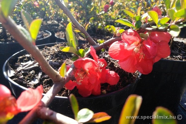 Chaenomeles superba ORANGE TRAIL