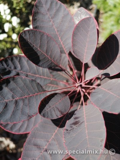 Cserszömörce, Cotinus coggygria ROYAL PURPLE