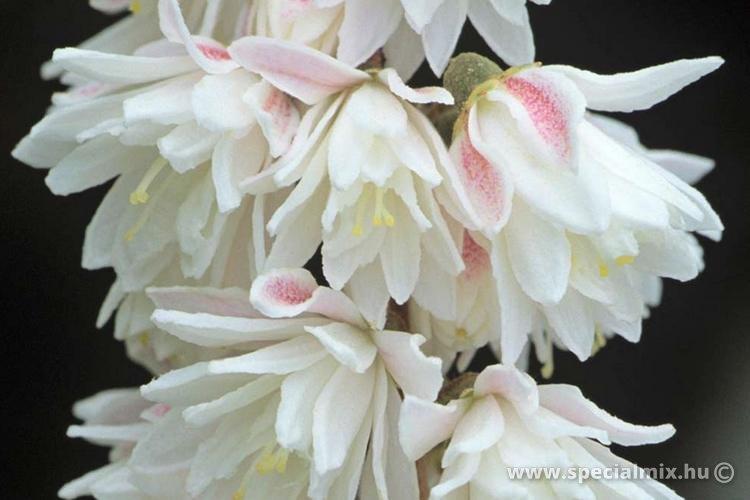 Gyöngyvirágcserje, Deutzia scabra PLENA