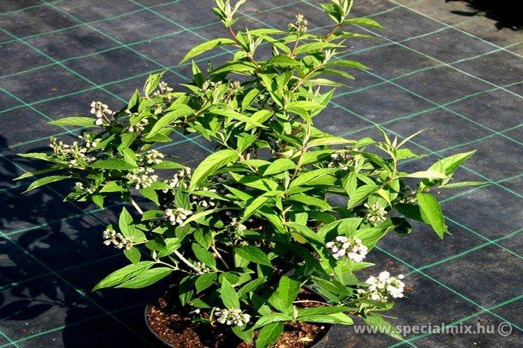 Deutzia x hybrida PINK POM-POM
