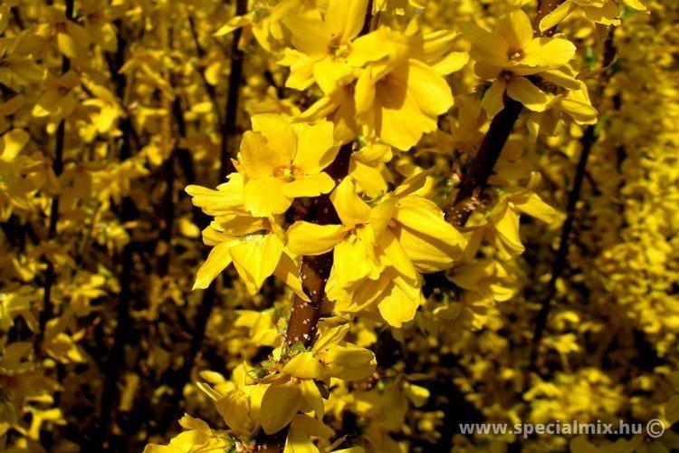 Aranyvessző, Forsythia x intermedia MINIGOLD