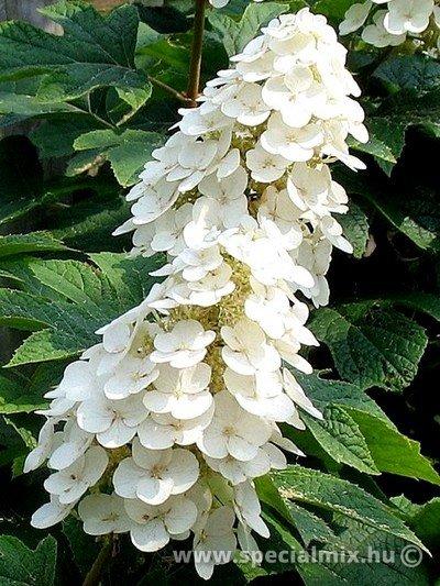 Hydrangea quercifolia ICE CRYSTAL ®