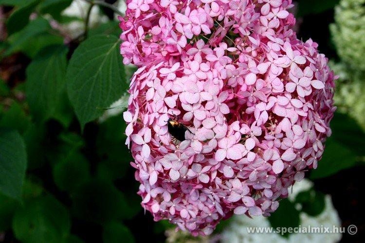 Hydrangea arborescens INVINCIBELLE ®