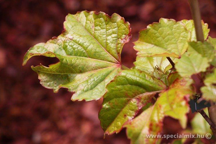 Parthenocissus tricuspidata VEITCHII